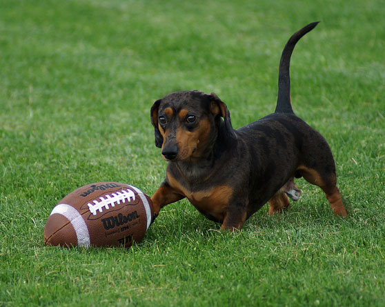 Dog playing with a football